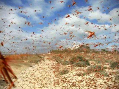 invasion criquet algérie