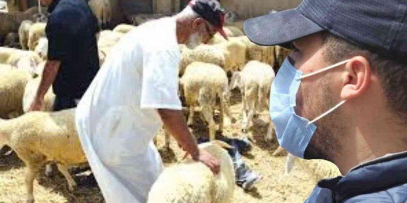 moutons Algérie