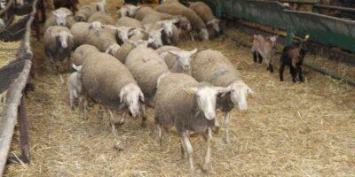 Aïd Adha prix mouton
