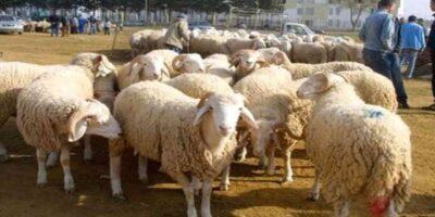 Aïd Adha Algérie Mouton